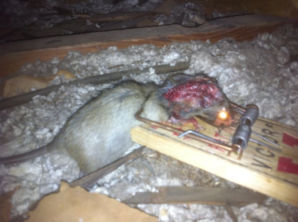 how to catch a rat without a trap