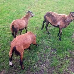 Ziegen auf der Weide beim Ponyreiten