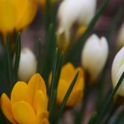 Krokus in gelb und weiß.....
