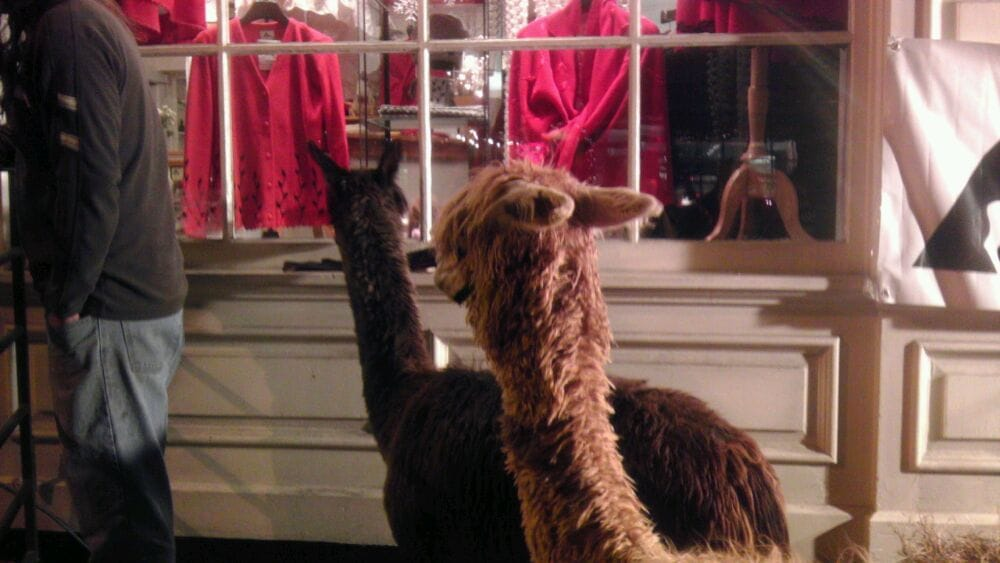 Alpacas here for midnight Madness! | Yelp