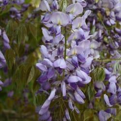 Blauregen im Mai, ein schöner Anblick
