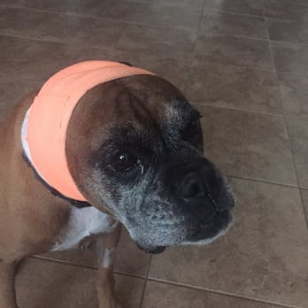 How To Wrap Dog S Ear To Stop Bleeding
