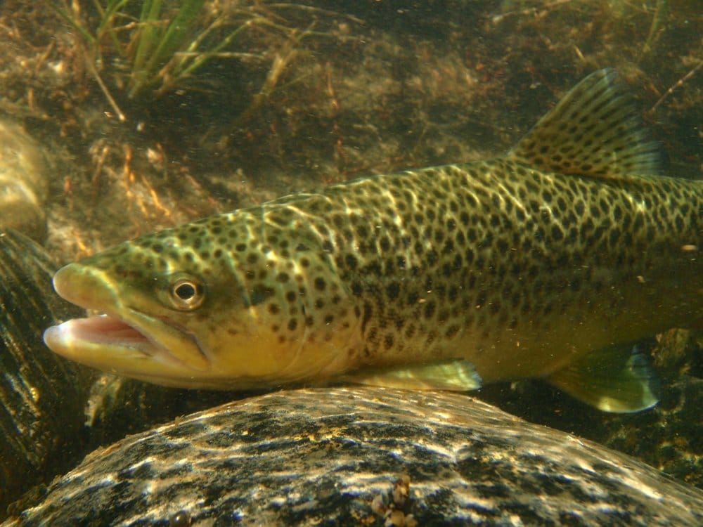 Ennis (MT) United States  city photos : Madison Valley Ranch Ennis, MT, United States. Brown trout ...