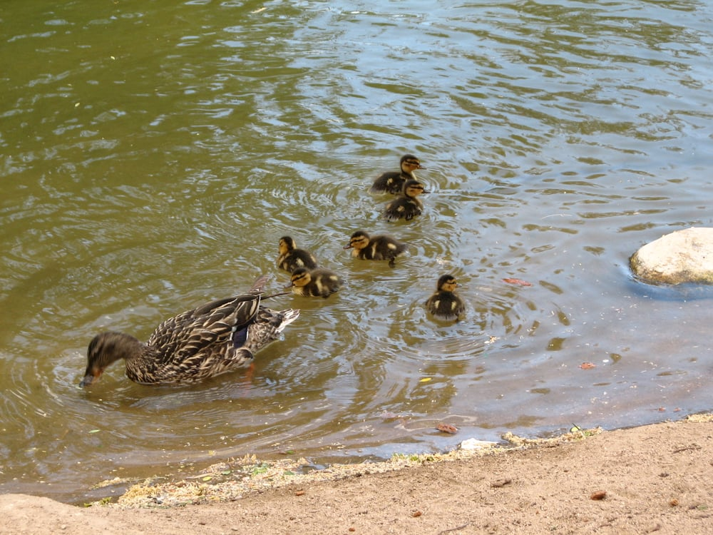Hesperia Lake Fishing Hesperia Lake Park Amp Campground New Ducklings Hesperia Lake Hesperia