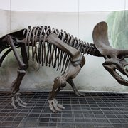 triceratops, believe it or not, it's a herbivore!