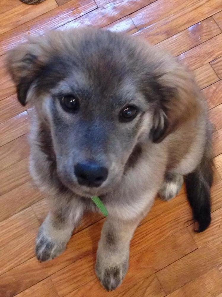 Meet Poppy a Golden Retriever & German Shepherd Dog Mix ...