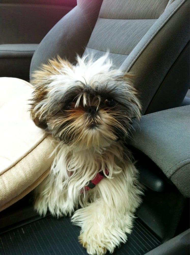 My shih tzu sheepdog on her way to grooming yelp for A shear pleasure pet salon