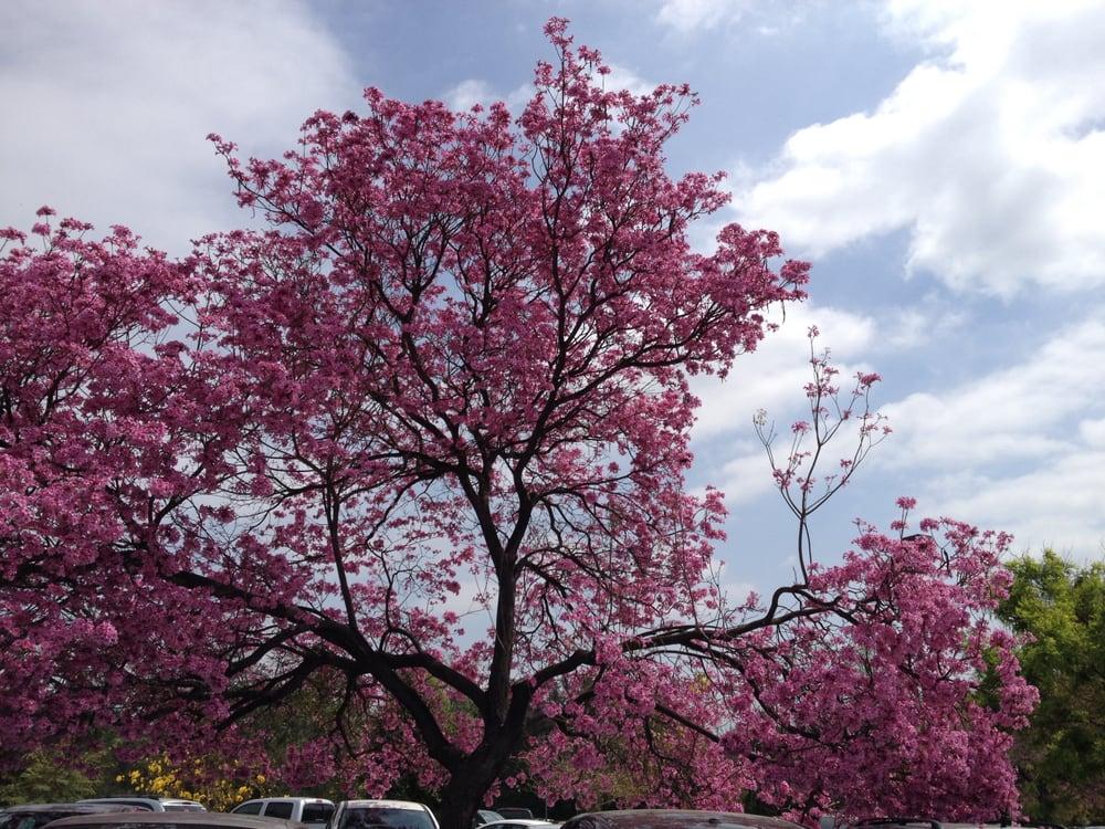 Cherry blossom festival 27 photos festivals la Cherry blossom festival descanso gardens