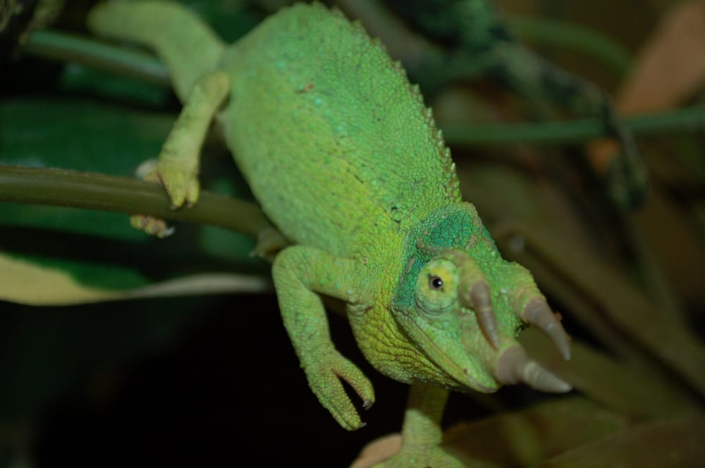 Male jackson chameleon - photo#8