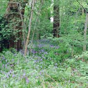 Lovely bluebells in pollock park in May
