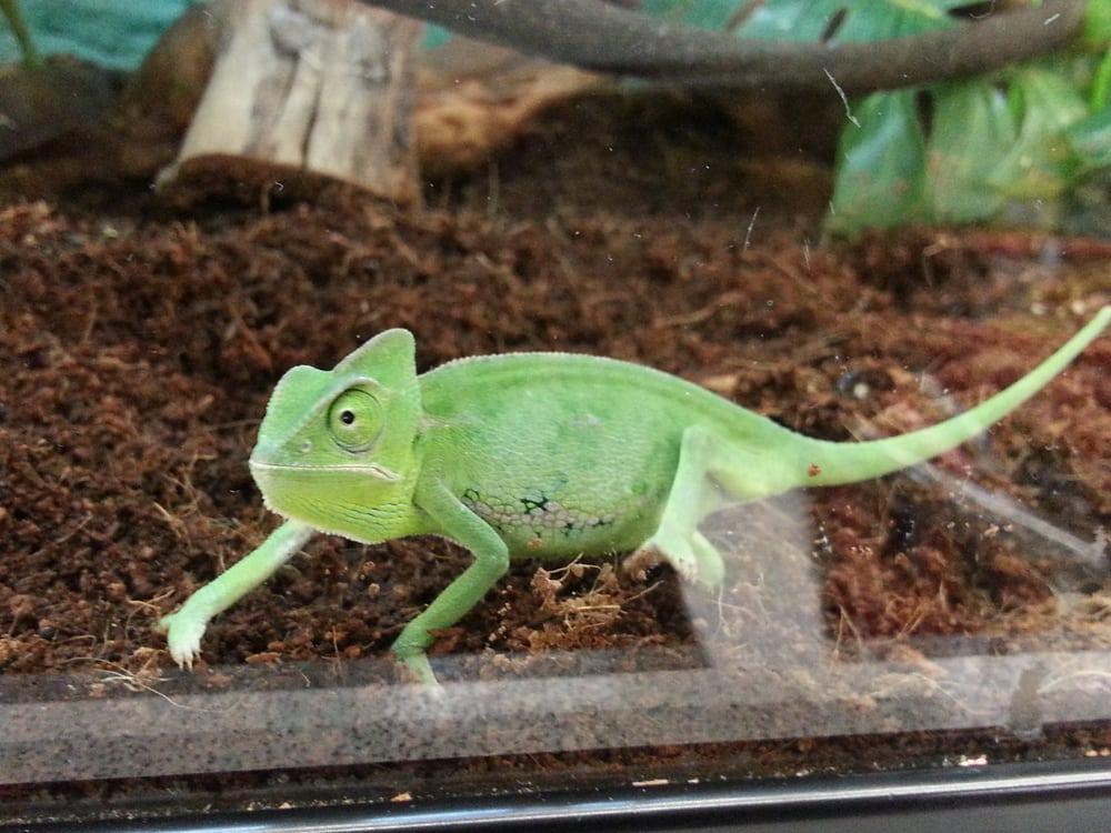 baby chameleon petco images