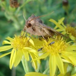 Rosy Rustic Moth, Kilchattan Bay, Isle…