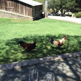 Picchetti Winery - Cupertino, CA, États-Unis. Rooster!!!!