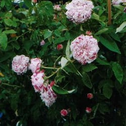 Ferdinand - Pichard - Rose in den…