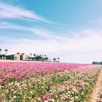 Photo Of The Flower Fields   Carlsbad, CA, United States