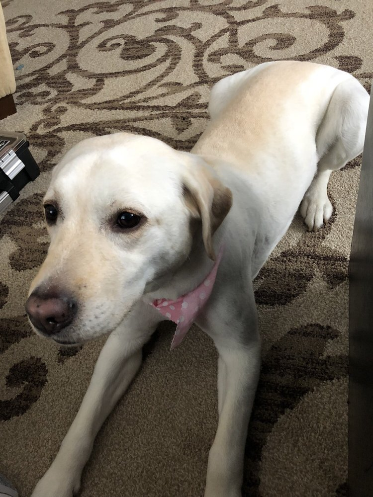 Had our English Lab bathed and shaved  She looks, feels, and
