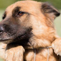 Ohio German Shepherds for Sale - 147 Photos - Pet Training