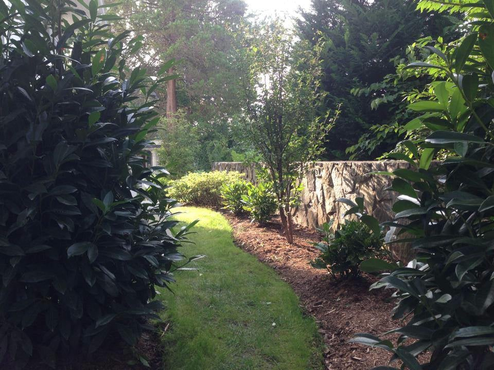 Large dense skip laurel create backyard privacy and for King garden designs