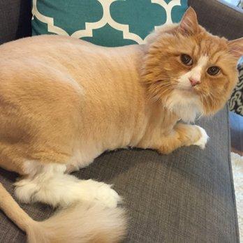 Persian cat in houston tx