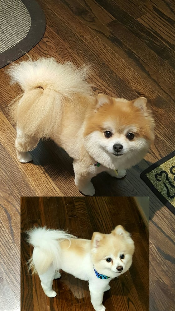 Both Our Pomeranians Got Teddy Bear Cuts And We Are Very Pleased