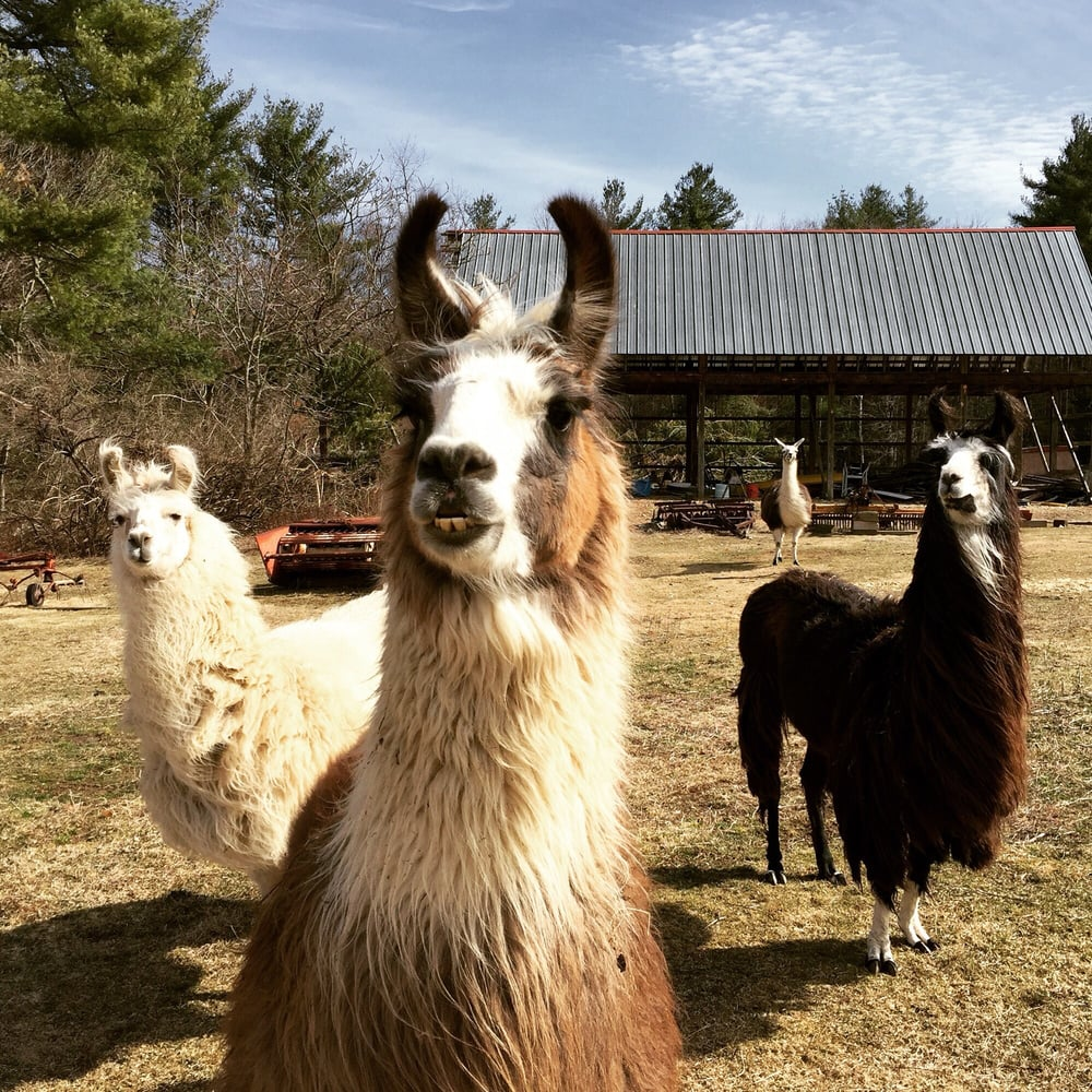 Starlight Llama Bed & Breakfast: 940 Chesterfield Rd, Florence, MA