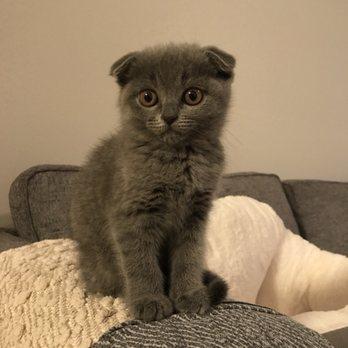 Luxury Kittens Scottish Fold - 149 Photos & 16 Reviews - Pet