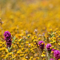 Antelope Valley California Poppy Reserve - (New) 1728 Photos