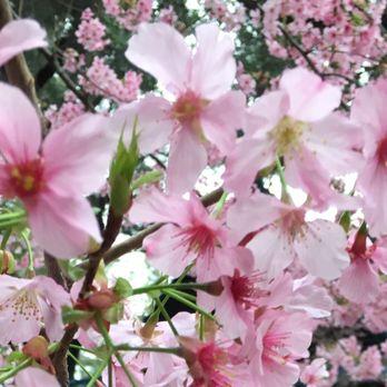 Descanso gardens 3739 photos 790 reviews botanical - Descanso gardens cherry blossom festival ...