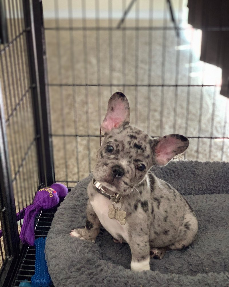 Maricopa County French Bulldogs: Avondale, AZ