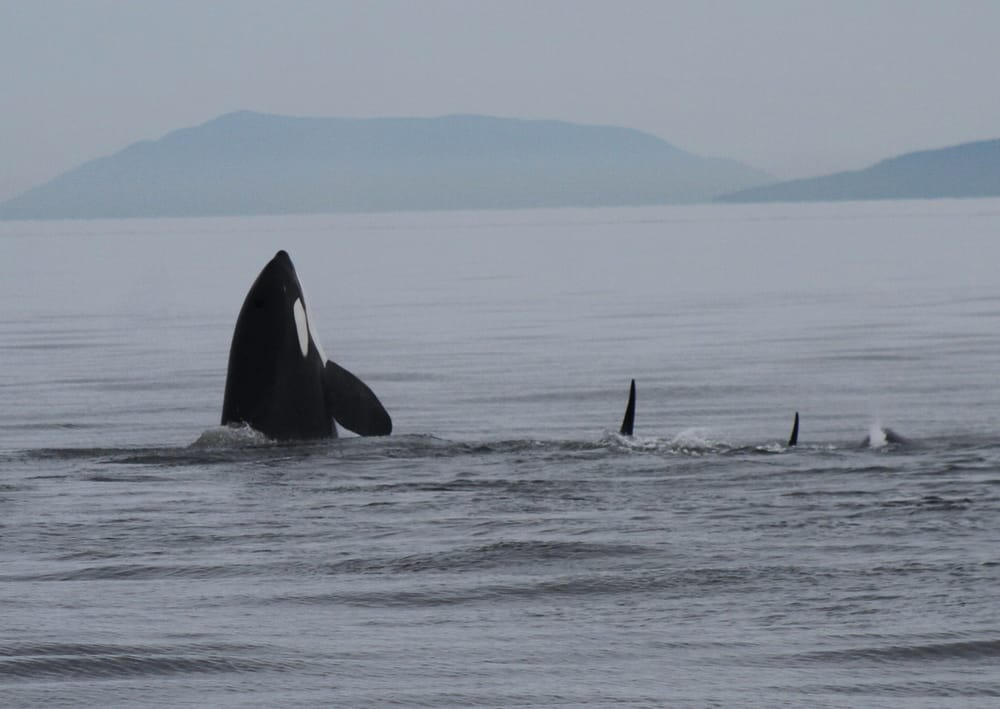 Sidney Whale Watching: 105-2537 Beacon Ave, Sidney, BC