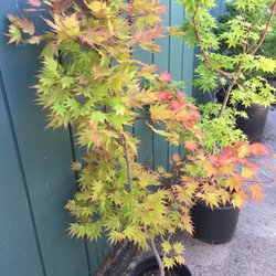 Photo Of Momiji Nursery Santa Rosa Ca United States Autumn Moon