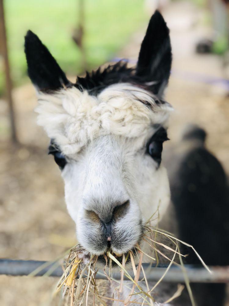 Vintage Alpacas Farm: 4933 Schaaf Ln, Brooklyn Heights, OH
