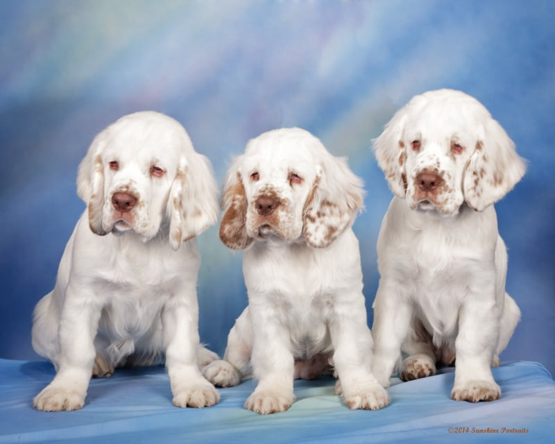 Anomar Clumber Spaniel puppies delivered by Dr. Pearson - Yelp