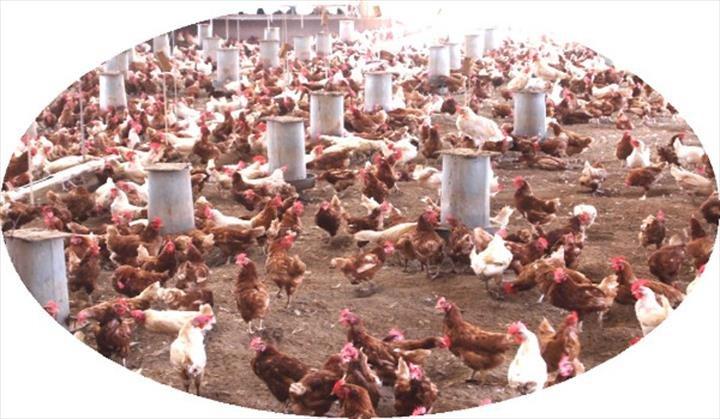 Milo's Poultry Farms: N3873 Valley Rd, Bonduel, WI