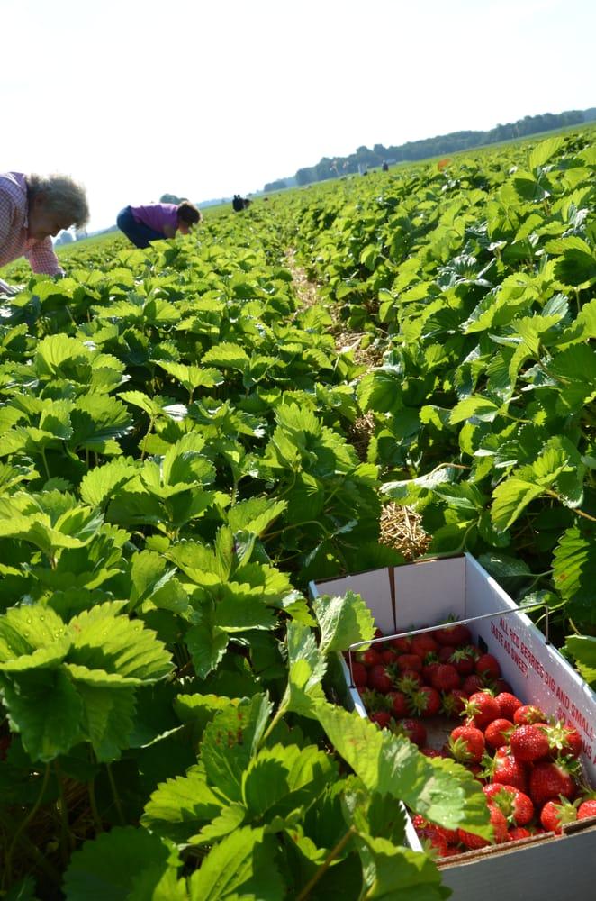 Lecount's Strawberry Farm: 3472 W 800th N, Wawaka, IN
