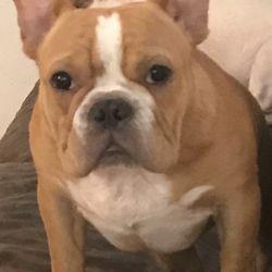 Top 10 Best French Bulldog Breeder in Sarasota, FL - Last
