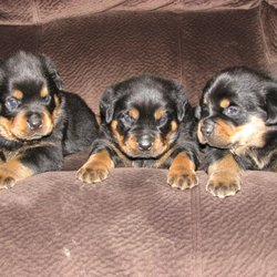 J W Rottweilers Pet Breeders Capitol Heights Md Phone Number