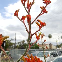 Photo Of Parkview Nursery Riverside Ca United States Kangaroo Paw
