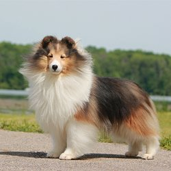 Atwaters Sheltie Blessings Request A Quote 15 Photos Pet