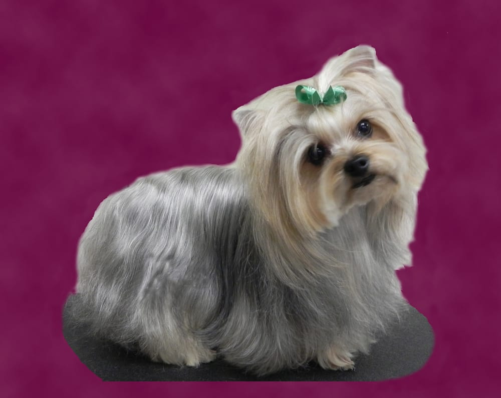 Yorkshire Terrier Groomed By Caroline Yelp