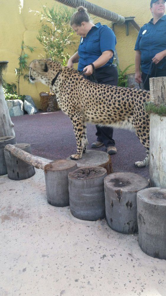 Cheetah Up Close On The Animals In Action Experience Yelp