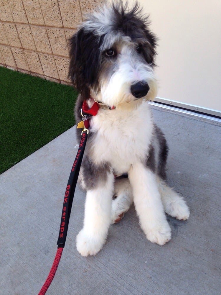 Barnum Sheepadoodle After His First Haircut Thanks