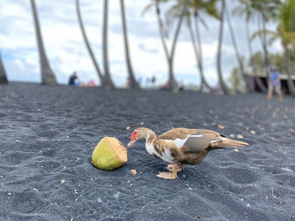Punalu'u Black Sand Beach: Hwy 11, Island of Hawaii, HI