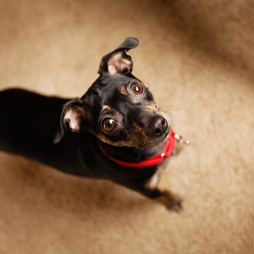 Forever Home Dog Rescue Mountlake Terrace