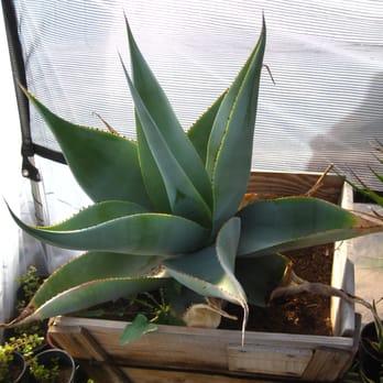 Photo Of Desert Gardens Nursery Glendale Az United States Agave Guiengola