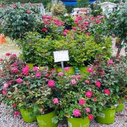 Photo Of Parsons Garden Center   Murrells Inlet, SC, United States. Knock  Out