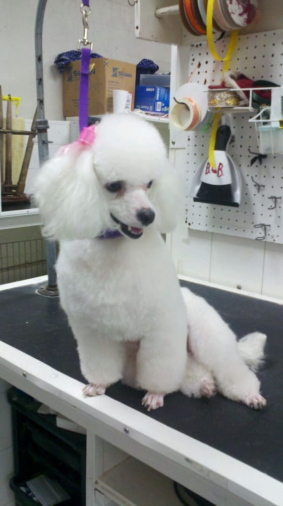 Fancy Lamb Cut Poodle Look We Are Experienced At All Fancy Poodle