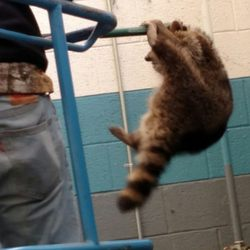 wildlife removal raccoons