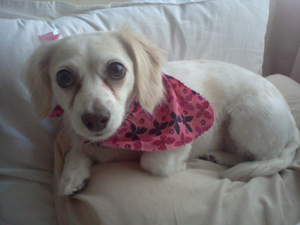 My little bella after a grooming cute flowers and bandana for 4 paws pet salon