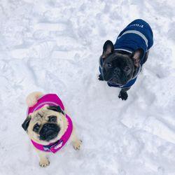 Top 10 Best French Bulldog Breeder In Boston Ma Last Updated